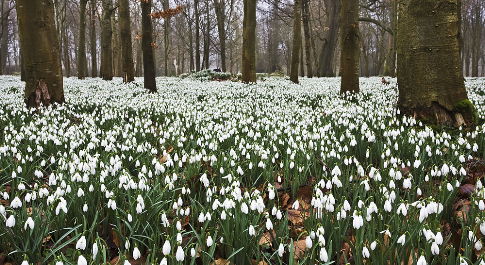 Snowdrops at Welford Park (Home of Great British Bake Off)